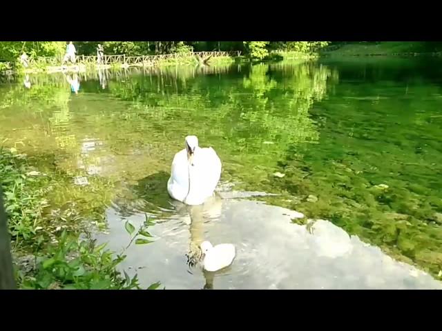 Labudovi na vrelu Bosne