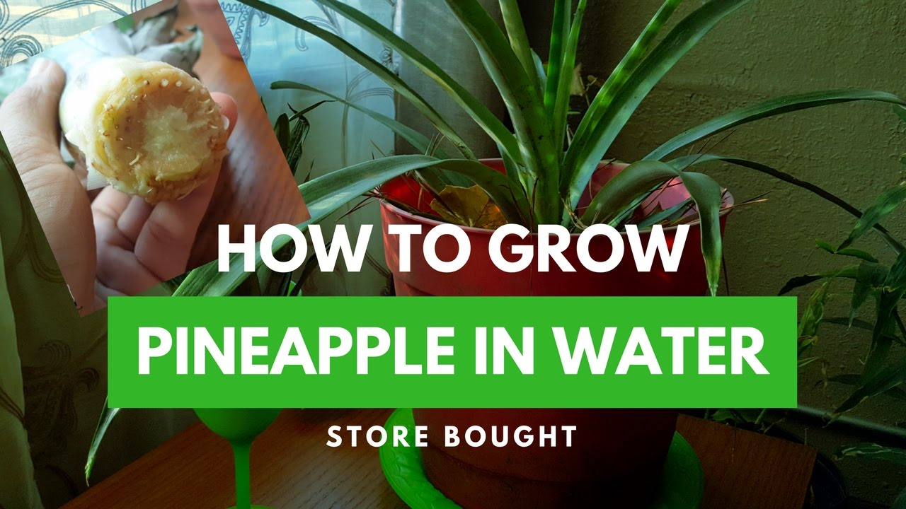 how to grow roots on a pineapple top in water store bought youtube. Black Bedroom Furniture Sets. Home Design Ideas