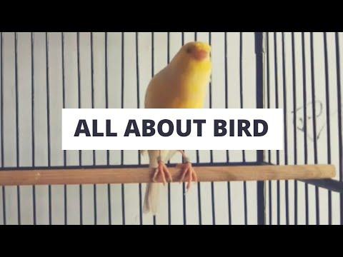 Download Lagu Kicau kenari gacor   masteran paling ampuh untuk kenari Muda