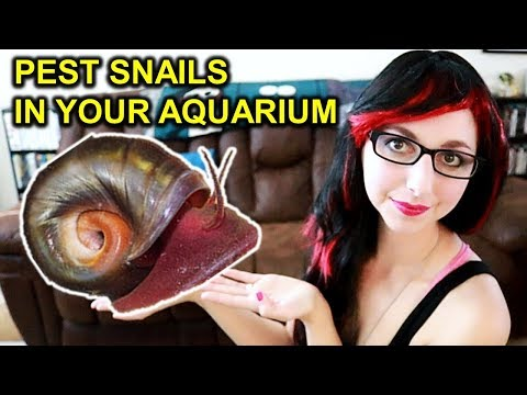 Get Rid Of Pest Snails In Your Aquarium   Snails In Your Fish Tank