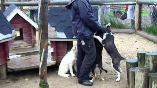 Visit to see husky dogs at Harriniva resort /Muonio, Finland. Dogs ...