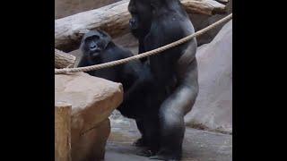 Goril Çiftleşmesi part1  Hayvan Çiftleşmeleri