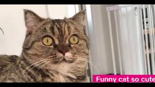 Funny cat so cute 丨 Munchkin cat You have to lose weight丨TOP cat