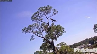 SWFL Eagles ~ Intruder at the Nest; Harriet &...
