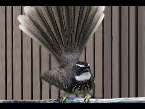 Suara Kipasan Londo/Kipasan Jawa │ Burung Legenda Sang Pe-Master