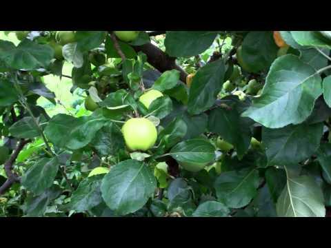 Apples Walled Garden Perth Perthshire Scotland