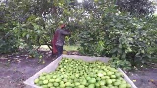 Lemon Picking - Pisca de Limón