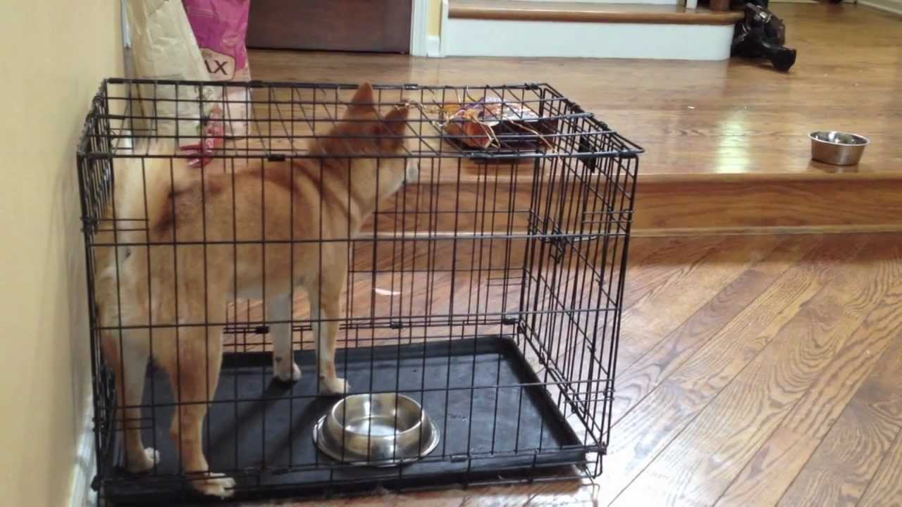 Shiba Inu Houdinis Out Of Crate