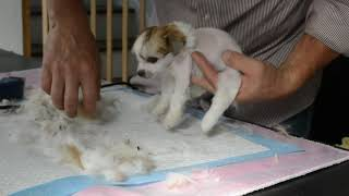 MythicKingdom how to groom a easy going super hairy hairless Chinese Crested puppy