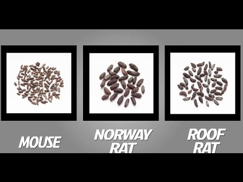 How to Identify Mice and Rats | TOMCAT | Scotts Miracle-Gro Canada