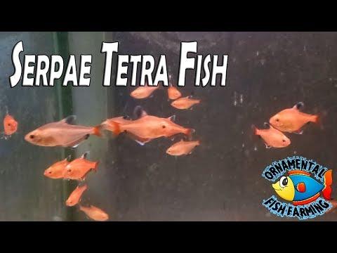 Serpae Tetra Fish - Female (Hyphessobrycon Eques)