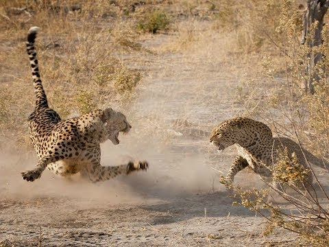 Leopard vs Cheetah real Fight to Death -...