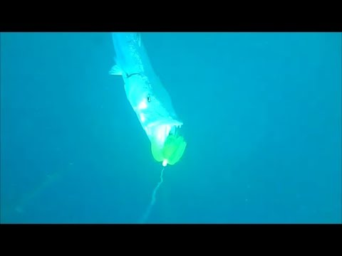 BARRACUDA BEHAVIOR AROUND NONE MOVING BAIT UNDERWATER RESEARCH VIDEO