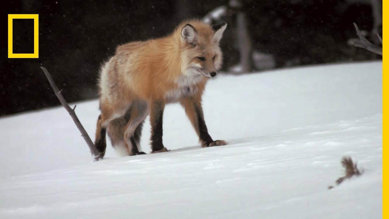 Le renard roux chasse sous la neige