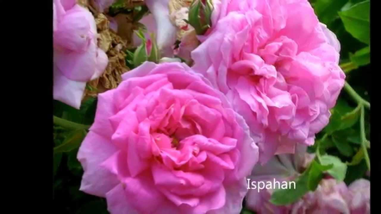 Rosales antiguos hd 3d arte y jardiner a dise o de for Jardineria rosales