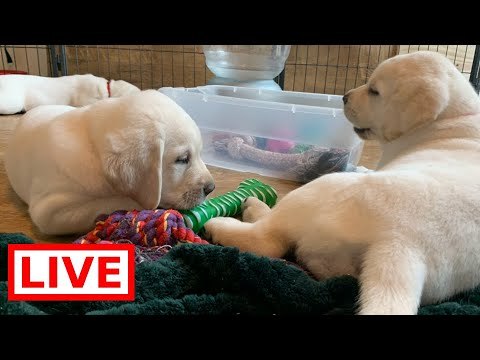 LIVE STREAM Puppy Cam! - Adorable Lab Puppies at Play!