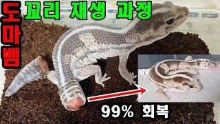 대박 ! 끊어진 파충류의 꼬리가 재생하는 과정 . 도마…