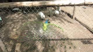 Павлин спаривается в минском зоопарке.(группа вконтакте: http://vk.com/pgshelp1 сайт: https://sites.google.com/site/na5balov заказать работу: ..., 2014-07-23T16:20:25.000Z)