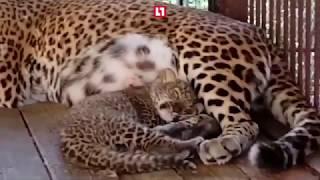 Леопард родился в придорожном кафе
