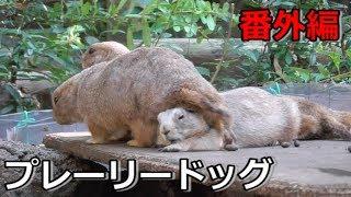 【番外編】上野動物園の動物達《プレーリードッグ編》 thumbnail