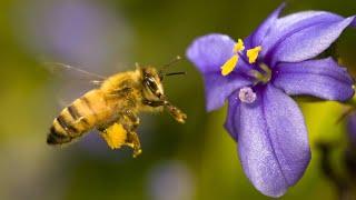 Пчелы - труженицы.