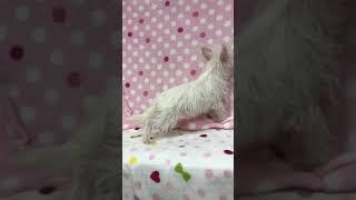 誕生日:2018/05/15 毛色:ホワイト 性別:メス.