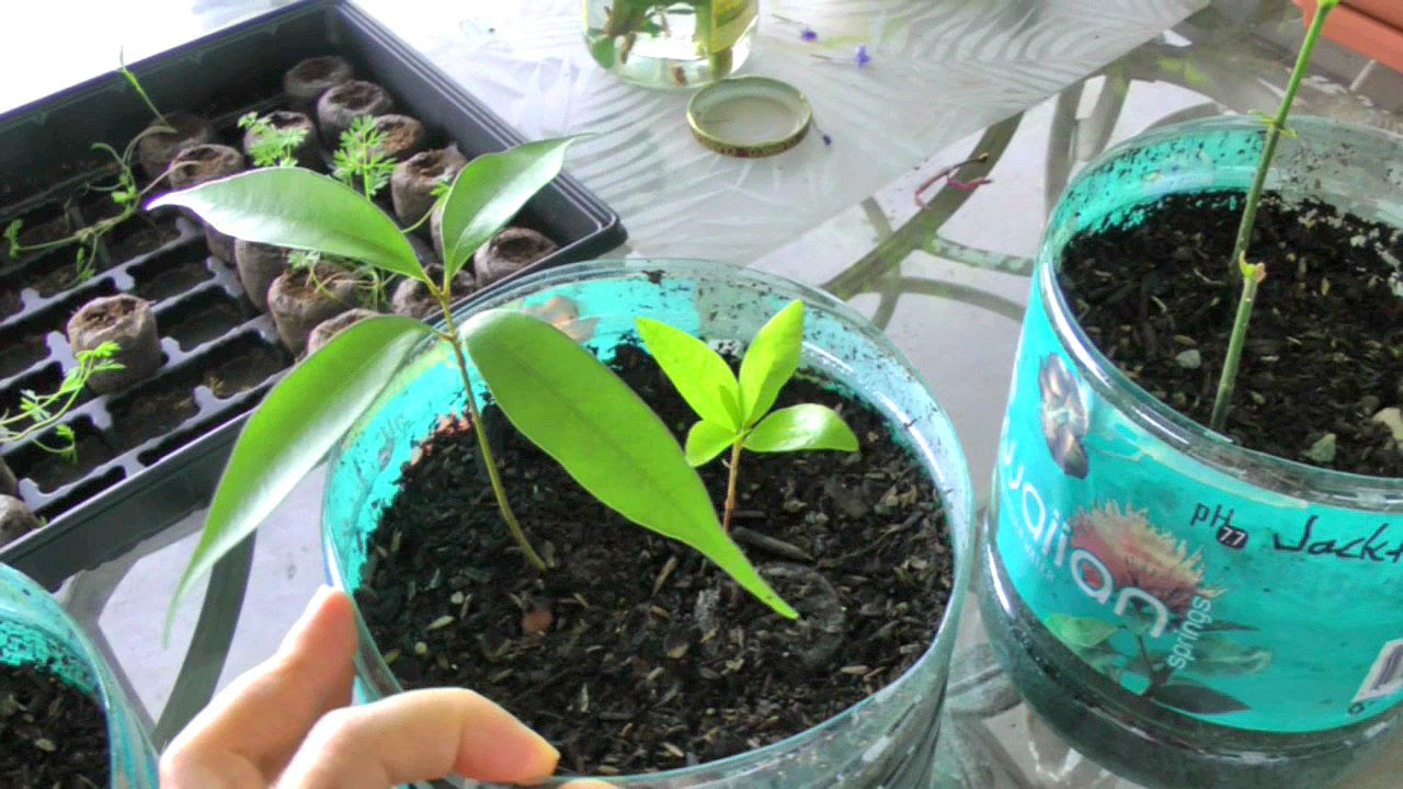 Sprouting Tropical Fruit Tree Seeds | Jackfruit Lychee Abiu Soursop