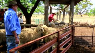 The Working Sheep Dogs Of Australia Kelpies
