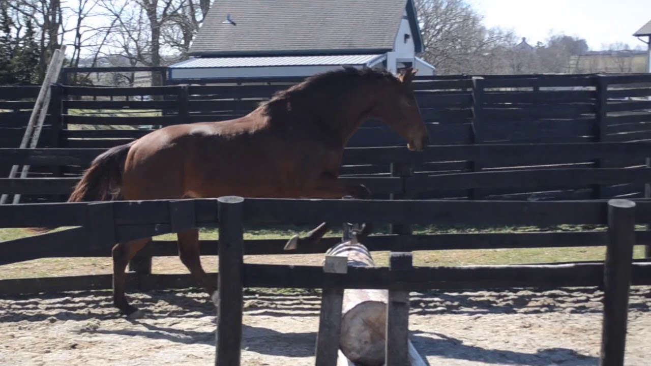 Curious Cat '16 - Free Jumping - OTTB Available for Adoption, Lexington, KY