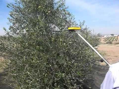 Peine vareador de olivos youtube - Vareador de aceitunas ...