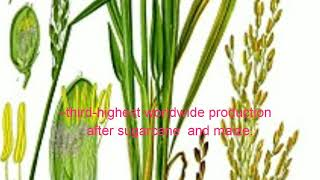 Rice sheath blight is destructive disease world wide