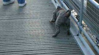 Blue Shar Pei Puppy Scared Of A Little Water