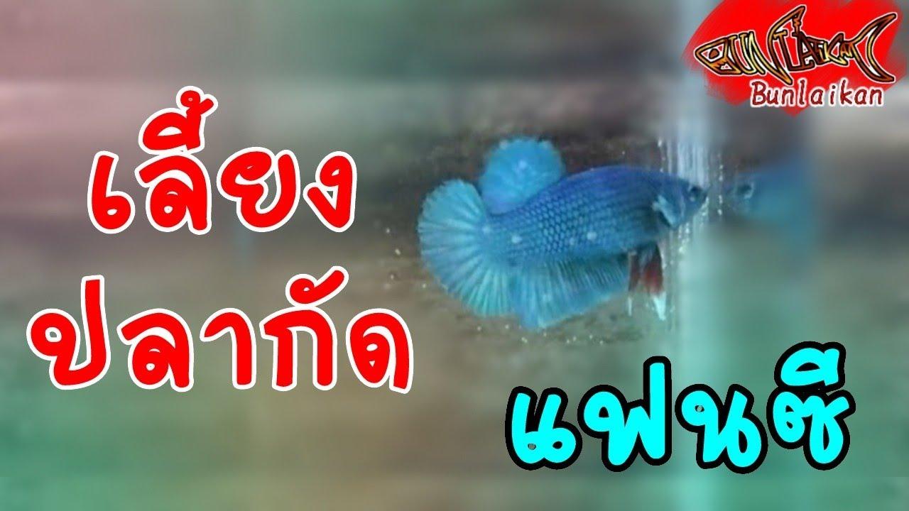 มือใหม่เลี้ยงปลากัด #1| ปลากัด เลี้ยงง่าย เลี้ยงอย่างไร ปลาใหม่ | ปลาสวยงาม | Bunlaikan-บรรลัยกัล