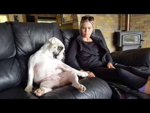 Frankie the Aussie bulldog demands petting part 2