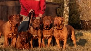 Dogue de Bordeaux Kennel Heart Of Darkness 9 Januari 2020