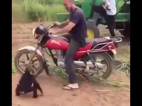 شاهد-ماذا-يفعل-القرد-الذكى-مع-صاحبة-يسوق-الموتوسيكل-قرد-صايع-وذكى-جدا-2017