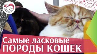 5 самых ласковых пород кошек на ilikepet
