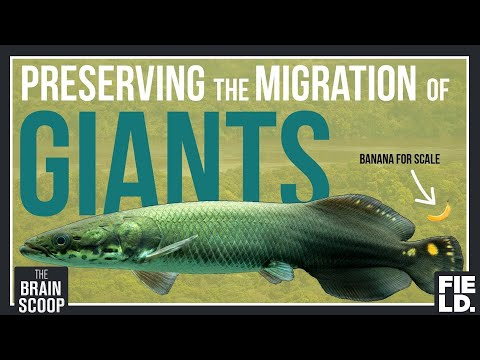 Preserving the Migration of Giants: Guyana