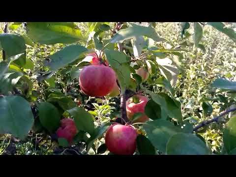 Многосортовое дерево яблони Мечта плюс Мантет.
