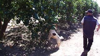 Canine Bello Hahn searching for HLB (Citrus Greening) in mature citrus trees.