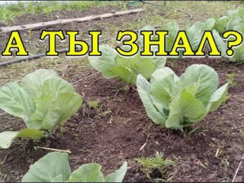 Как ухаживать за капустой