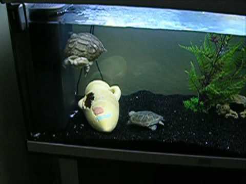 2 pelomedusa subrufa m les tortue d 39 eau youtube - Aquarium complet pour tortue d eau ...