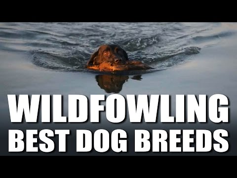 Best Wildfowling Dog Breeds