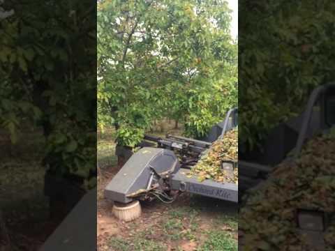 Nagambie Walnuts Harvest 2017