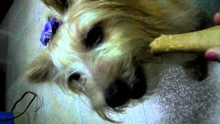 Yoranian Dog Chews Chewbone