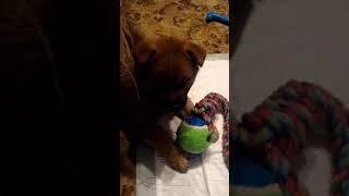 Наш щенок сиба ина по кличке Леонардо смотри передачу про спасение собак