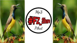 Mp3 Pikat Sogok Ontong + Korlap #Catch #Bird #Cinnyris_Jugularis #Anthereptes_Singalensis