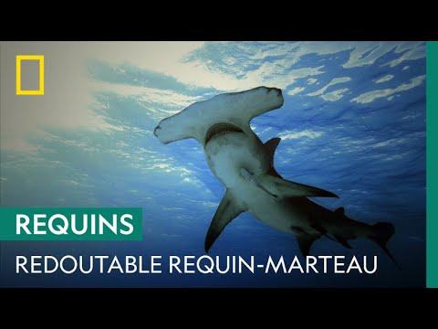 Le requin-marteau, prédateur et cannibale