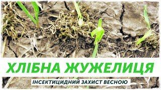 Хлебная жужелица на пшенице весной(, 2018-09-22T11:26:48.000Z)