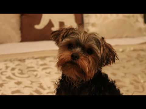 Tutorial - How to bath a baby yorkie puppy